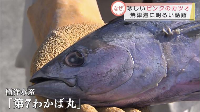 ピンク鰹 焼津 極洋水産 水揚げ めざましテレビ まき網船
